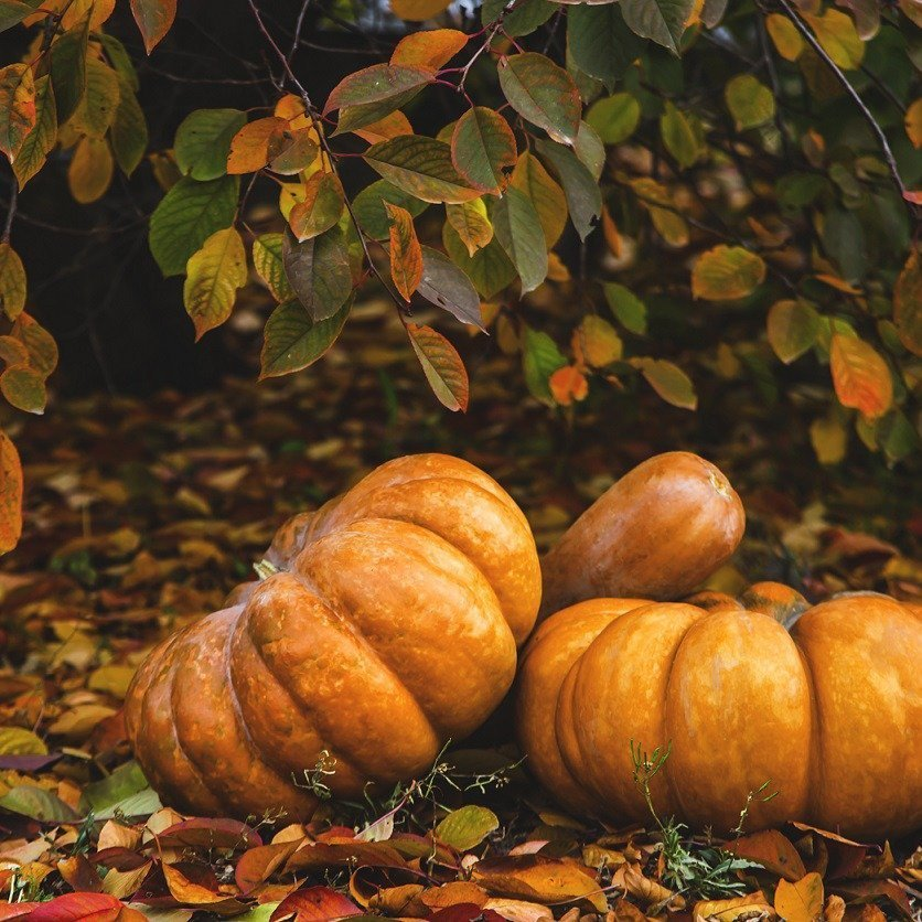 Pumpkins in the garden among yellow autumn leaves