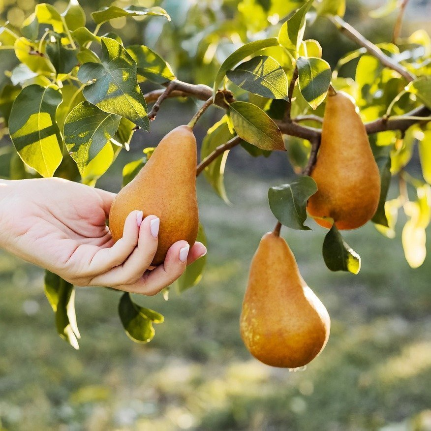 Female hand holds Fresh juicy tasty ripe pear on branch of pear tree in orchard for food or pear juice, harvesting. Crop of pears in summer garden outside. Village, rustic style. Eco, farm products.
